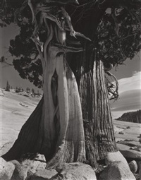 juniper at lake tenaya by edward weston