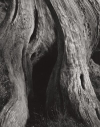 cypress, point lobos by edward weston