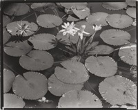 lotus pads (from route i by berenice abbott