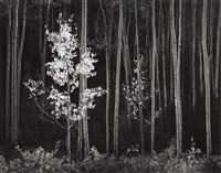aspens, northern new mexico (from portfolio vii) by ansel adams