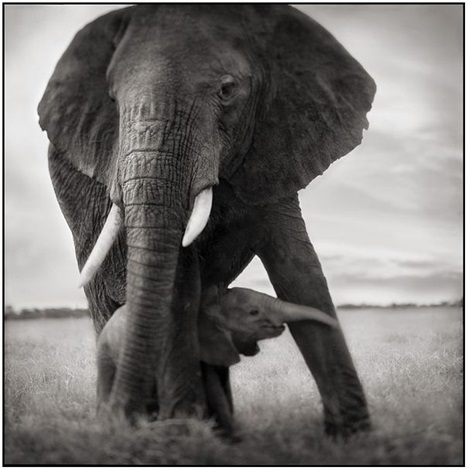 elephant mother and baby holding leg by nick brandt
