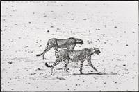 hunting cheetahs on the tarn desert by peter beard