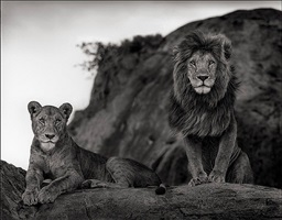 lion couple by nick brandt