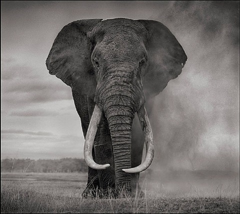 portrait of elephant in dust by nick brandt