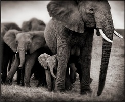 elephant mother and two babies, serengeti by nick brandt