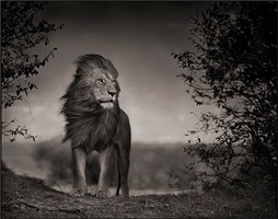 lion before storm i, massai mara by nick brandt