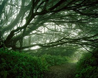 mist shrouded trees, from the series