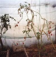 ferme pédagogique, tomates, tanger by yto barrada