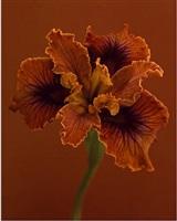 iris douglasiana 'n. erickson' by ron van dongen