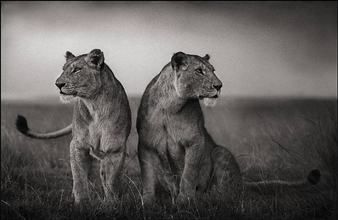 lionesses readying to hunt, maasai mara by nick brandt