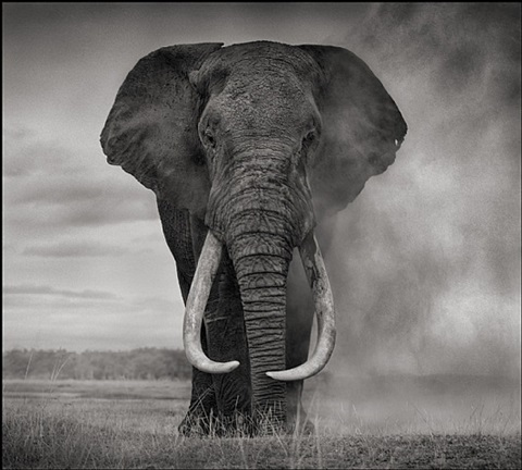 elephant in dust, amboseli 2011 by nick brandt
