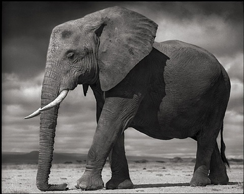 elephant (young) resting, amboseli 2011 by nick brandt