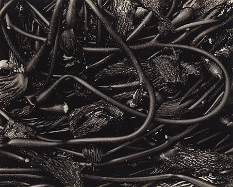 kelp, no 11 by edward weston