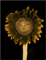 untitled (sunflower) by chuck close