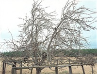 pear tree, near akron, alabama, january 2000, 2005 by william christenberry