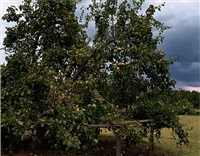 pear tree near akron, alabama, august 2002, 2005 by william christenberry