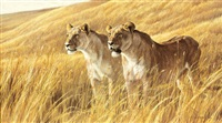 pair of lionesses by robert bateman