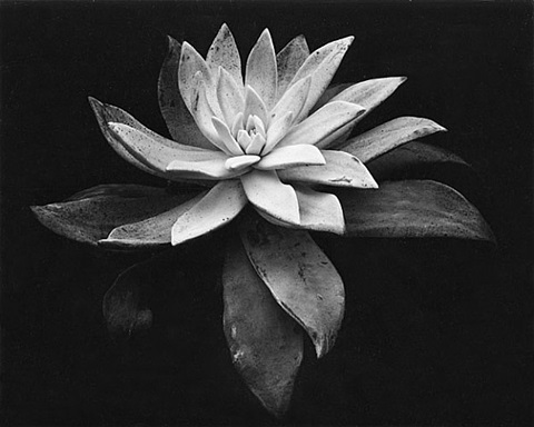 succulent by edward weston