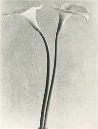calla lilies by tina modotti