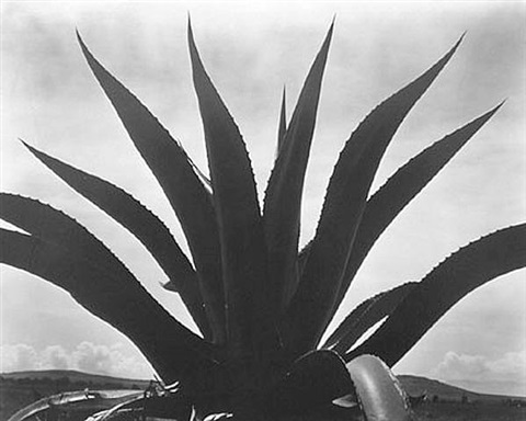 maguey, mexico ( pp#940 ) by edward weston