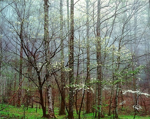 dogwoods, forest in mist, tennessee by christopher burkett