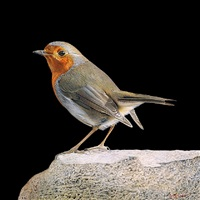 robin on rock by adrian smart