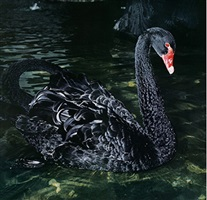 untitled (black swan) by manfred willmann