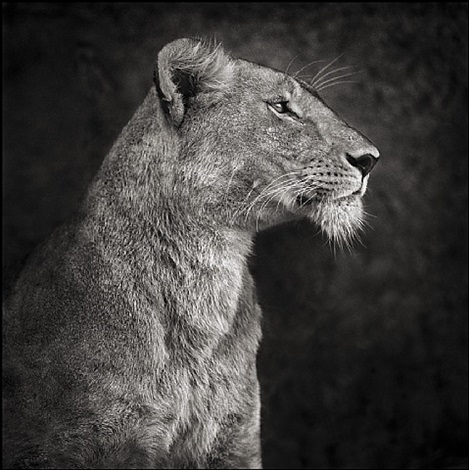 portrait of lioness against rock by nick brandt