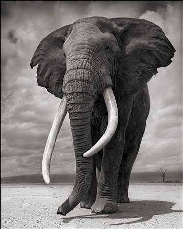 elephant on bare earth, amboseli by nick brandt