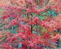 cerise red maple, kentucky by christopher burkett