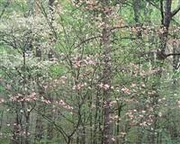 gentle dogwoods, kentucky by christopher burkett
