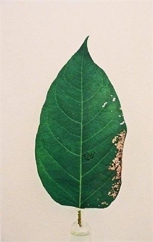 leaf by janet malcolm