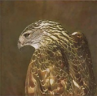coopers hawk i by kate breakey