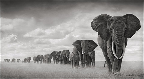 elephants walking through grass, amboseli, 2006 by nick brandt