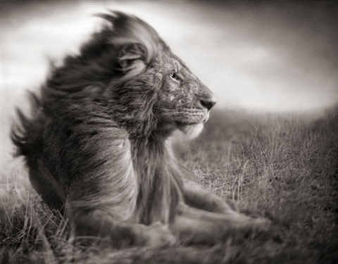 lion before storm ii sitting profile masai mara by nick brandt