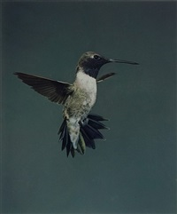 black-chinned hummingbird by eliot porter