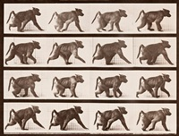baboon walking on all fours by eadweard muybridge