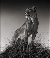 lioness on mound serengeti by nick brandt