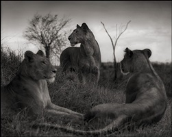 lion circle, serengeti by nick brandt