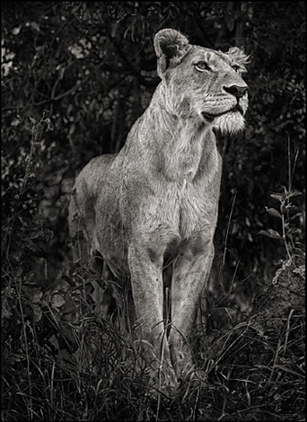 lioness in dark foliage, serengeti by nick brandt