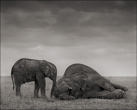 the two elephants, amboseli by nick brandt