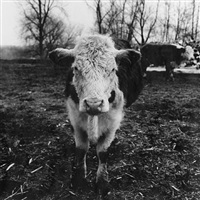 shaggy cow (i) by peter hujar