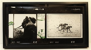 """elephant and cheetahs """"what business had i, ever, to set my heart on africa"""" (out of africa) - tsavo n. 1965/cheetahs, june1960 by peter beard"""
