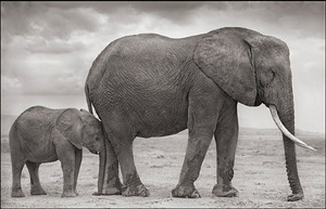 elephant mother with baby at leg, amboseli by nick brandt