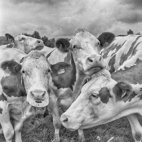 four cows by per o. maning