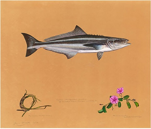 cobia by james prosek