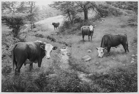 cows by scott prior