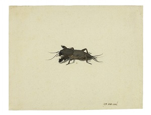 maulwurfsgrille / mole cricket by pieter holsteyn the younger