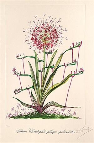 allium christophii pilique pubescentes. (desert cactus.) by salvador dalí
