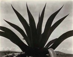 maguey, mexico, 1926 by edward weston